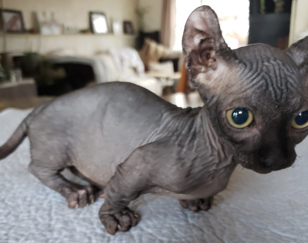 Sphynx Dwelf Kitten For Sale