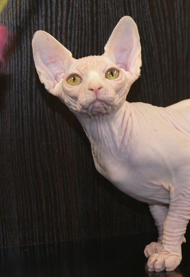 Gold Eye White Sphynx - Baby Rah Cattery