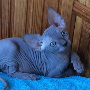 Blue Sphynx Baby Rah Cattery