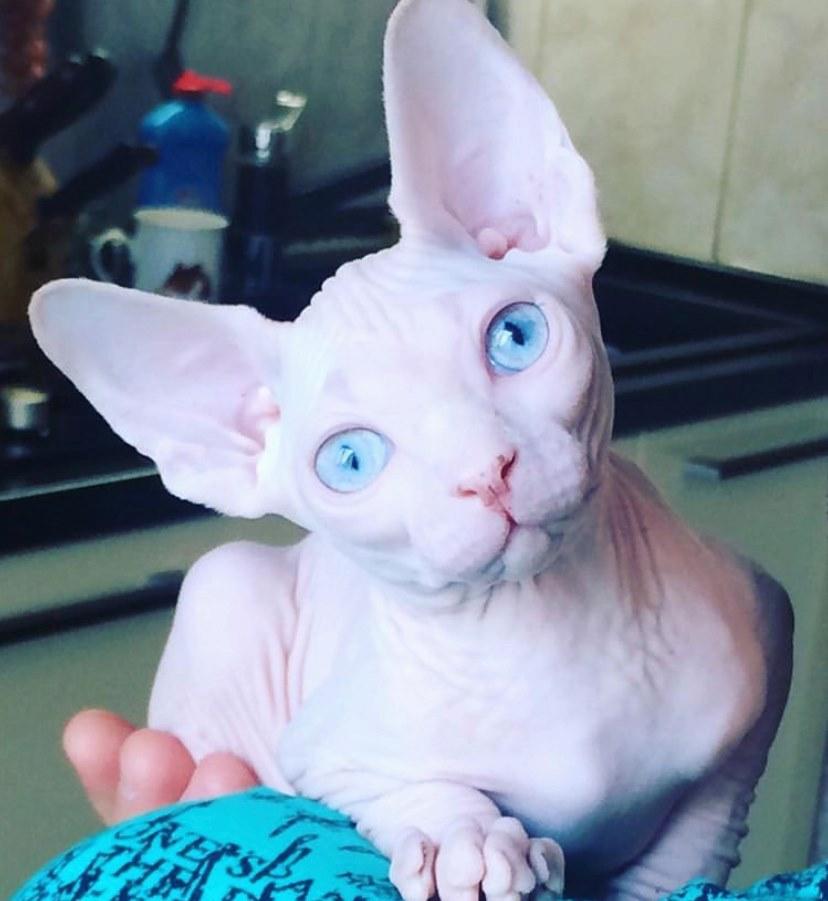 White Sphynx Blue Eyes