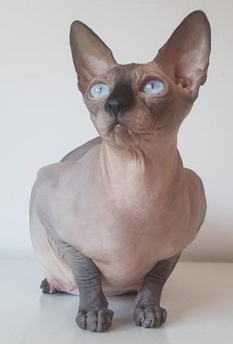 Chocolate Mink Sphynx Cal Muse Cattery